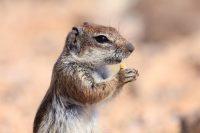 Atlashörnchen bei der Fotoreise Tierfotografie