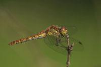 Zur Galerie mit Teilnehmerfotos der Fotoreise Libellenfotografie im Teufelsmoor