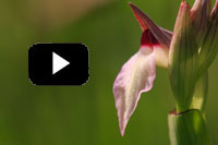 Video Sardinien Orchideen
