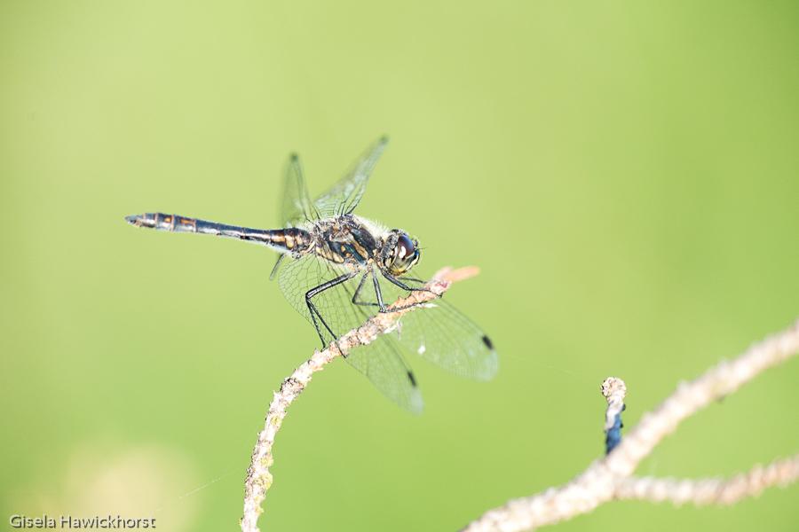 Teilnehmerbild der Fotoreise Libellen in Worpswede